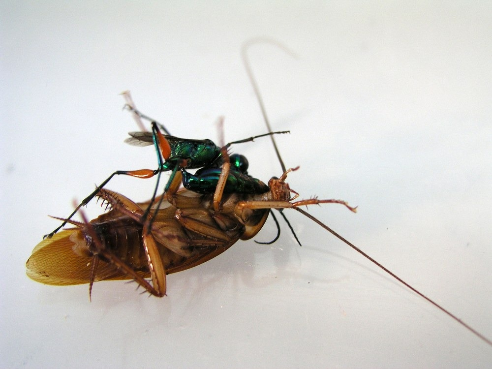 emerald-wasp-cockroach-1