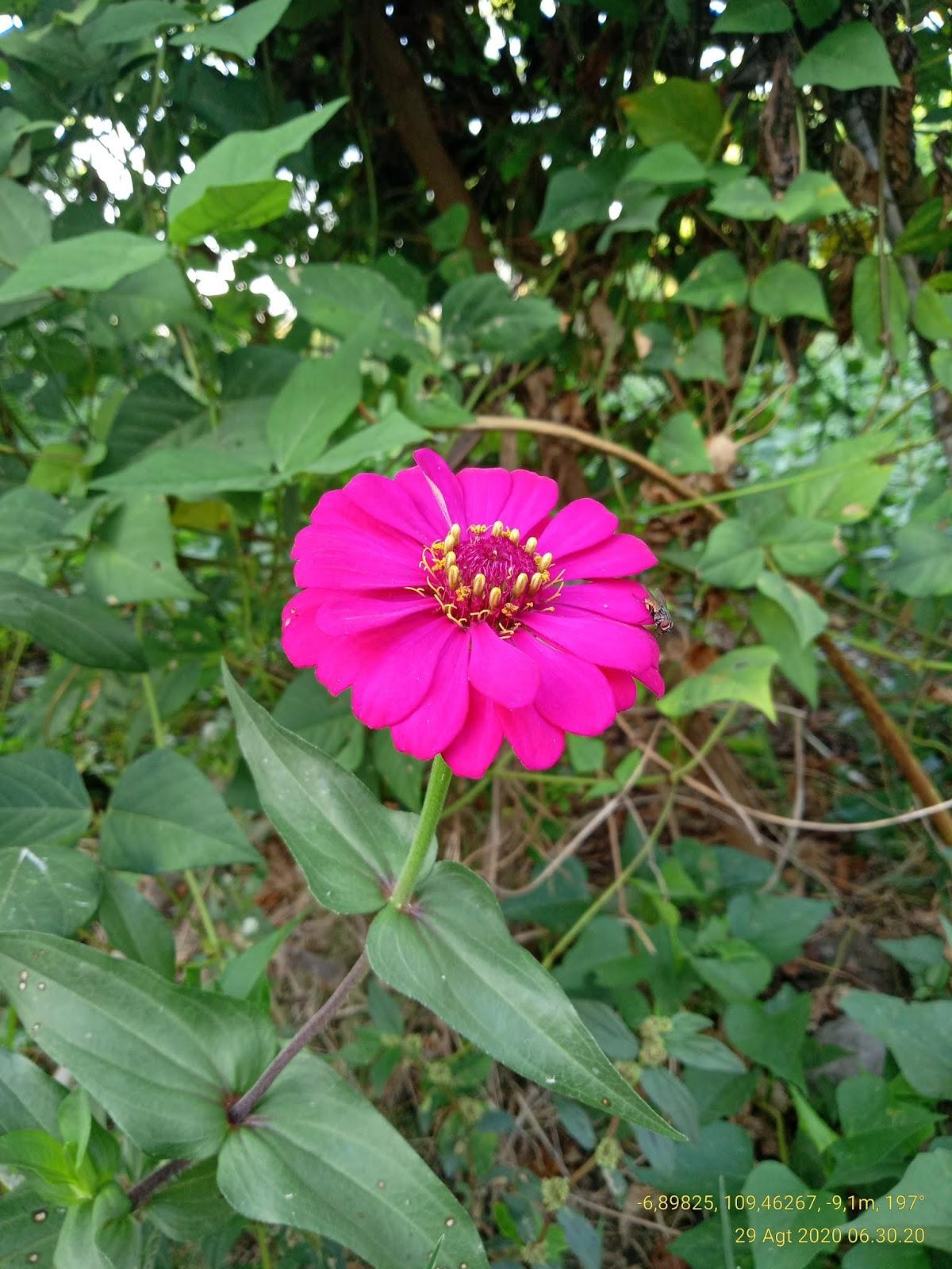 Bunga Zinnia Elegant