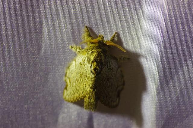 Lasiocampidae : Euglyphis sp.? Mount Totumas, 1900 m (Chiriquí, Panamá), 23 octobre 2014. Photo : J.-M. Gayman