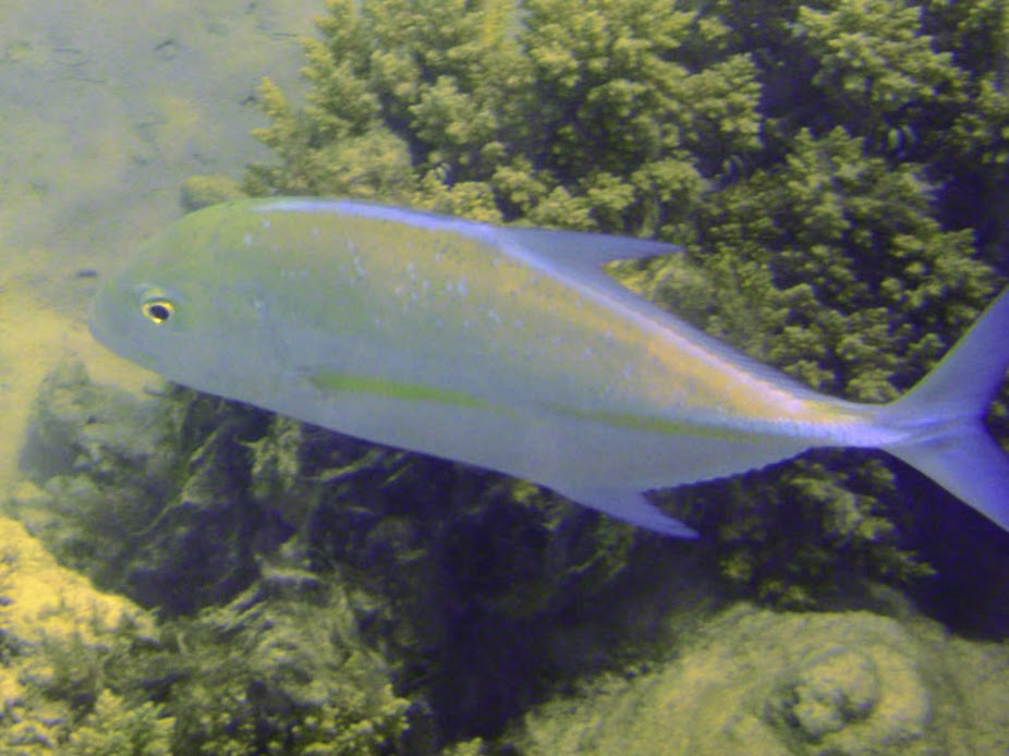 Caranx melampygus (Bluefin Trevally), Rarotonga.