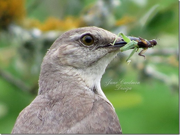 Mockingbird_closeup