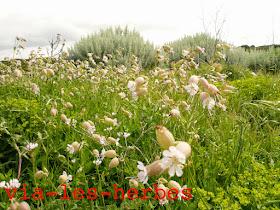 Silene enfle Silene vulgaris .jpg