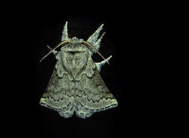 Anthelidae : Munychryiinae : Munychryia senicula WALKER, 1865. Umina Beach (NSW, Australie), 3 novembre 2011. Photo : Barbara Kedzierski