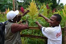 Pěstování amarantu nebylo v oblasti Lulungu, kde pracujeme, dosud zvykem nebo byla semena těžko dostupná a hlavně byla podceňována výživová hodnota této plodiny. (Foto: Marcela Janáčková, ČvT)