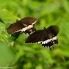 Papilio polytes 玉帶鳳蝶