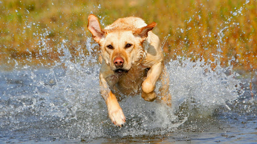 On the Move, Golden Labrador Retriever.jpg