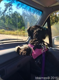 Maggie on patrol South Carolina 10112014