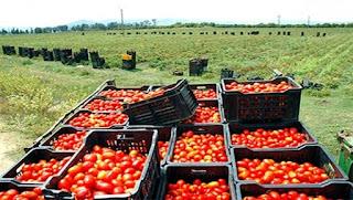 La tomate industrielle à Guelma, une filière engagée dans une dynamique de développement durable