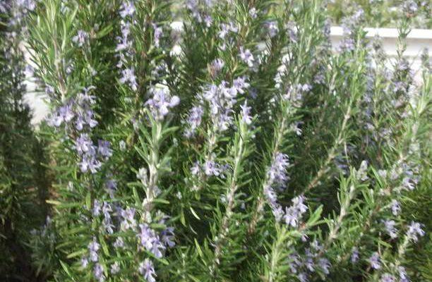 Δενδρολίβανο- το βότανο που ενισχύει τη μνήμη