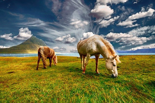 horses iceland grazing