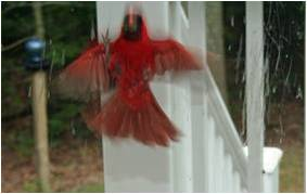 Northern Cardinal banging up against window