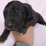 dark chocolate female @ 2 weeks/available