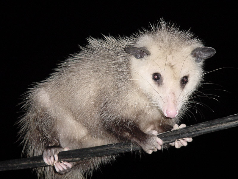 Dangerous of Wild Animals: Possum