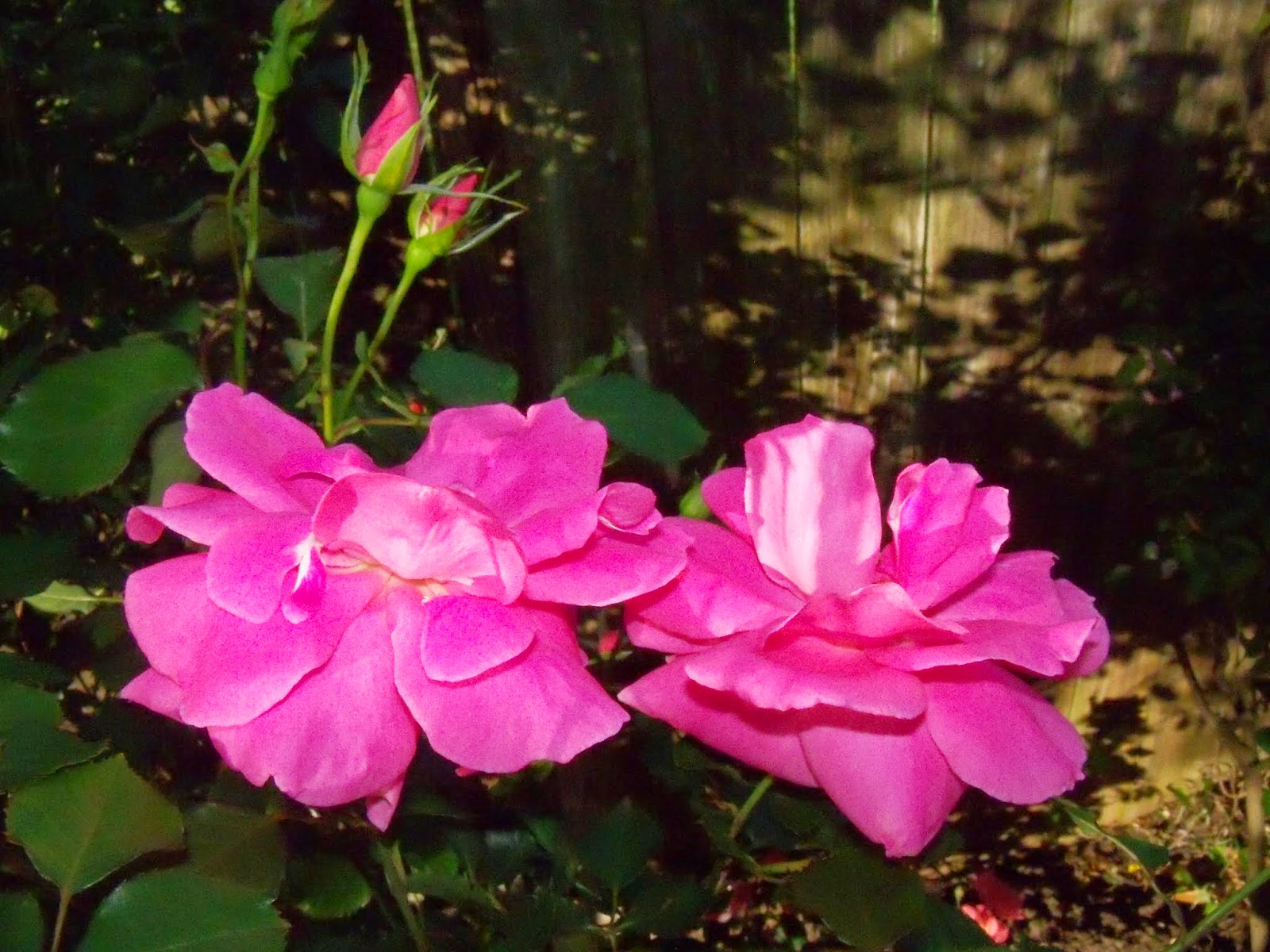 Gardening 2015 - 116_7642.JPG