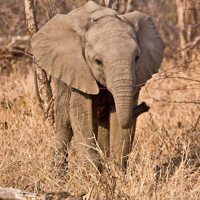 Elephant Baby, South Africa
