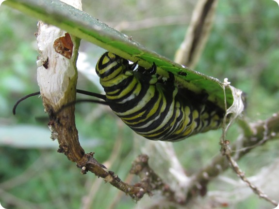 Monarch Caterpillar (Danaus plexippus) (3)