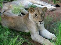 Balule Reserve - Kruger NP, South Africa