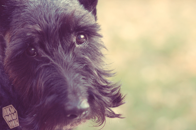 black dog, scottie goth, scottish terrier goth dog, goth dog, hipster dog