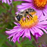 pollen-gathering_MG_0106-copy.jpg