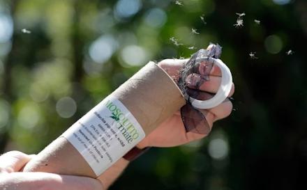 Απελευθερώνουν χιλιάδες γενετικά τροποποιημένα κουνούπια στην Φλόριντα παρά τις αντιδράσεις των κατοίκων