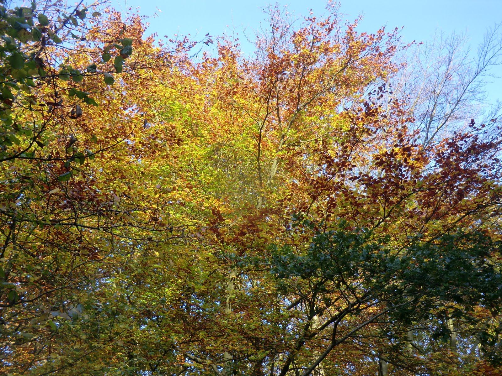 CIMG0982 Autumn colours, Banstead Wood