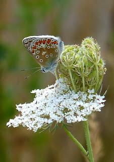 Common Blue butterfly, Rainham Marshes, East London