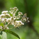 Papilio xuthus, LINNAEUS, 1767, mâle. Cang Shan (2400 m) au-dessus de Xizhou (Yunnan), 6 août 2010. Photo : J.-M. Gayman