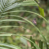 Callicore pitheas (Latreille, [1813]). Fundo Palmarito, 265 m (Casanare, Colombie), 7 novembre 2015. Photo : B. Lalanne-Cassou