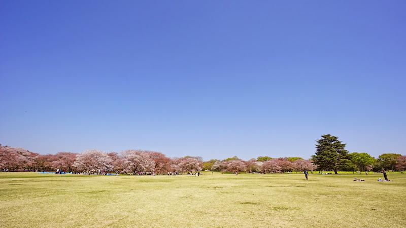 昭和記念公園 桜 写真2