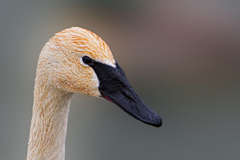 Portraits (Swans)