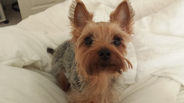 Coco the Yorkshire Terrier