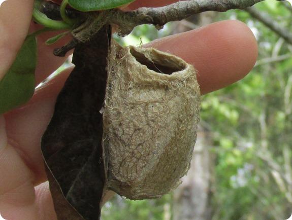 Hampton Tract- Moth Cocoon (1)