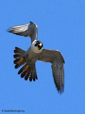 One angry peregrine falcon parent! Photo Pat Schlarbaum, Iowa DNR.