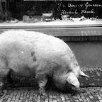 Varken voor de slagerij van Jan van Oers_BEW.tif