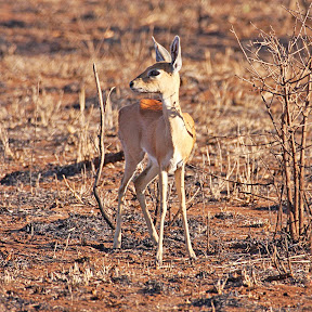 Steenbok Doe, South Africa