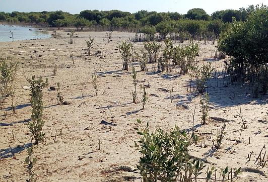 Mangroven-Bäume am Strand von Al Khor, Katar