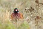 LE PAUVRE...   Les faisans de Colchide sont lâchés chaque année pour le plaisir de quelques chasseurs.
