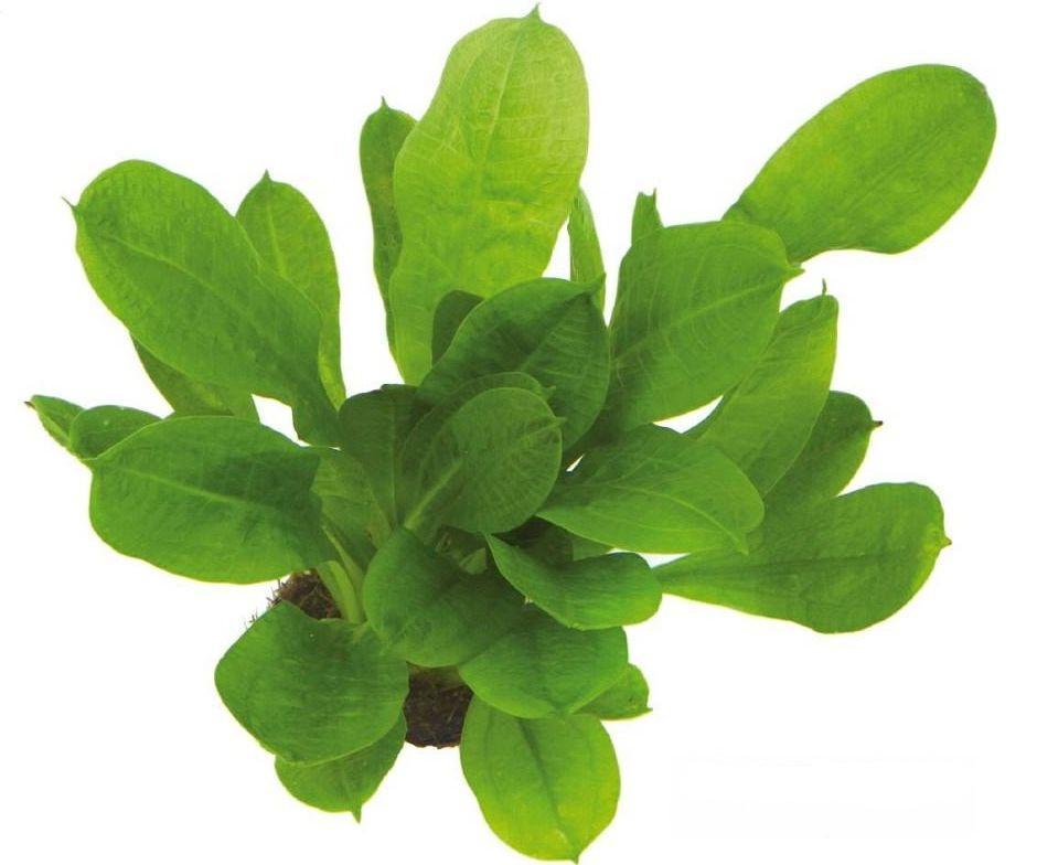 Эхинодорус мелкоцветный (Echinodorus parviflorus)