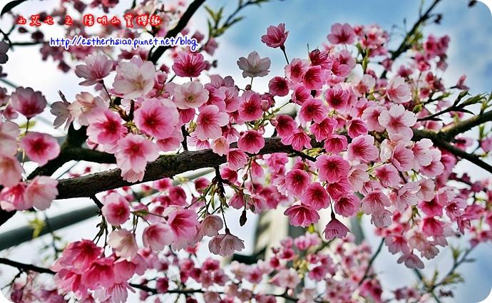 65 平菁街42巷櫻花樹