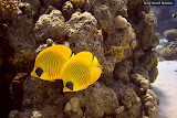 Couple of masked butterfly fish (© 2008 Bernd Neeser)