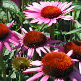 Gorgeous Coneflowers
