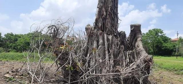 ભાવનગર : જાણો કાલુભા રોડ પર ધરાશાયી થયેલ  130 વર્ષ જુના વડલા નું શું થયુ ?