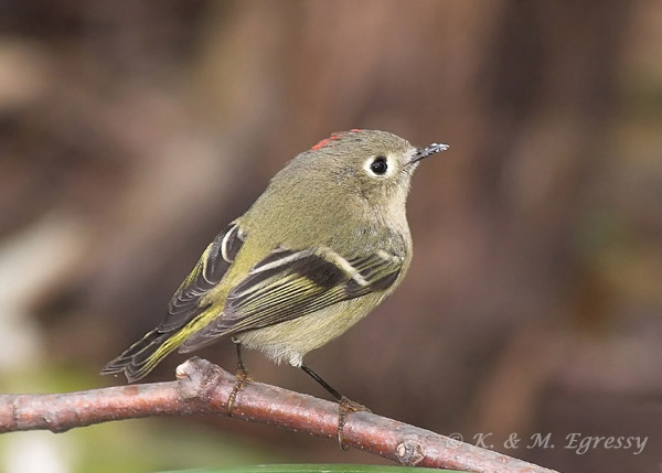 Ruby-crowned Kinglet (Karl Egressy) Note eye-ring