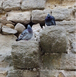 Pigeons.Carassonne. Copyright © Shelley Banks, all rights reserved.