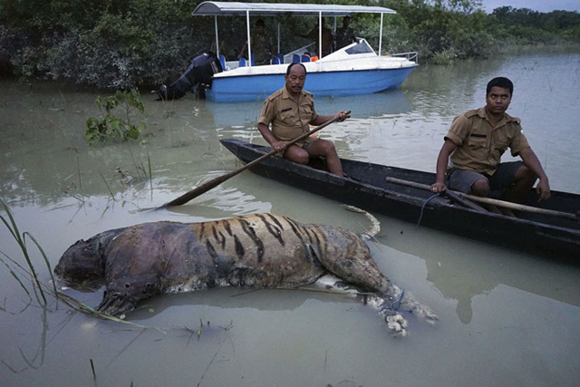 In this Friday, 18 August 2017 photo, the carcass of a tiger lies in floodwaters at the Bagori range inside Kaziranga National Park in the northeastern Indian state of Assam. About 80 per cent of the 480-square-kilometer (185-square-mile) park has been flooded and more than 100 animal carcass recovered, according to news reports. Deadly landslides and flooding are common across South Asia during the summer monsoon season that stretches from June to September. pHOTO: Uttam Saikia / AP Photo
