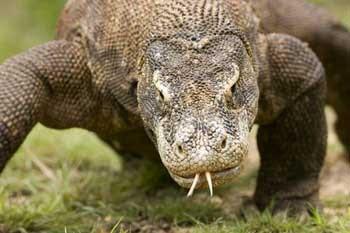 Terkuak Rahasia Gigitan Maut Komodo