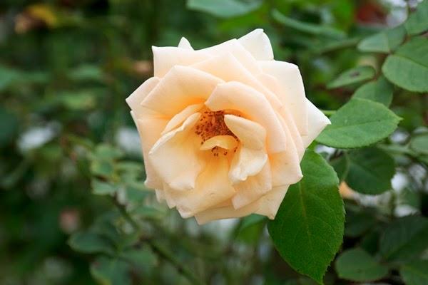 bunga ros putih