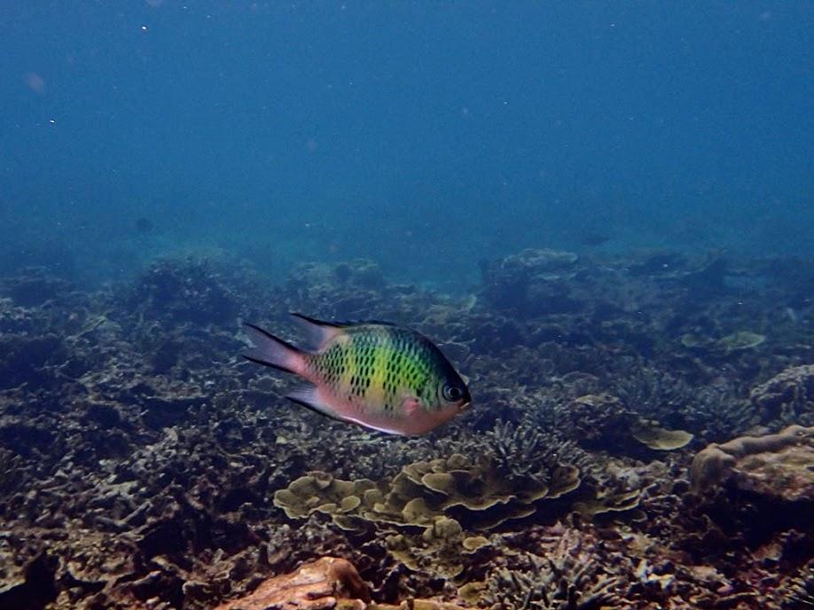 Amblyglyphidodon curacao (Staghorn Damselfish), Small Lagoon, Miniloc Island, Palawan, Philippines.