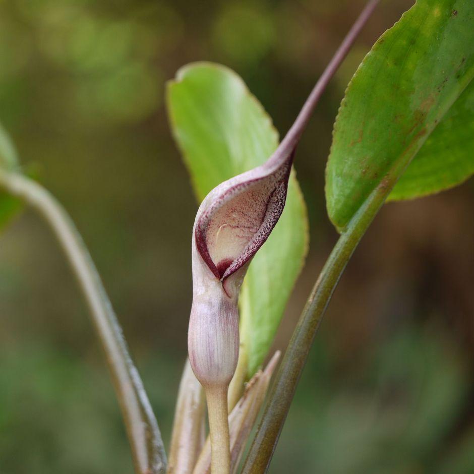 Лагенандра яйцевидная (Lagenandra ovata)