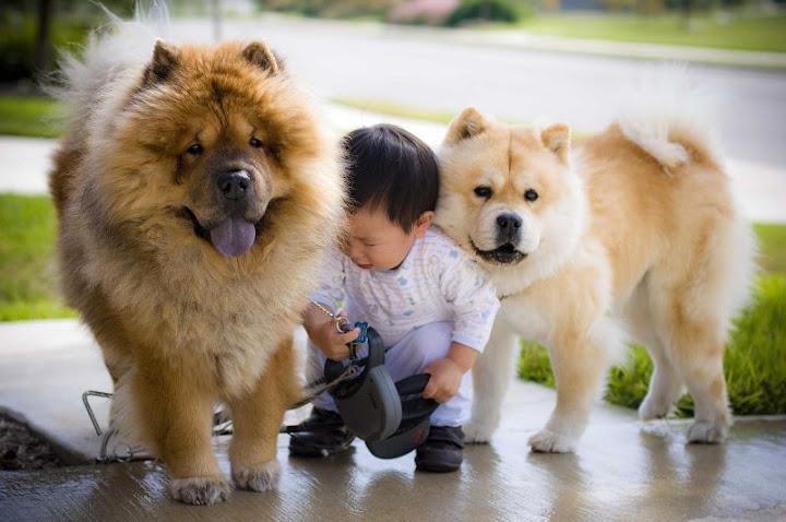 Kỹ thuật nuôi chó Chow Chow thuần chủng - c%2525C3%2525A1ch nu%2525C3%2525B4i gi%2525E1%2525BB%252591ng ch%2525C3%2525B3 chow chow ch%2525C3%2525B3 g%2525E1%2525BA%2525A5u 3